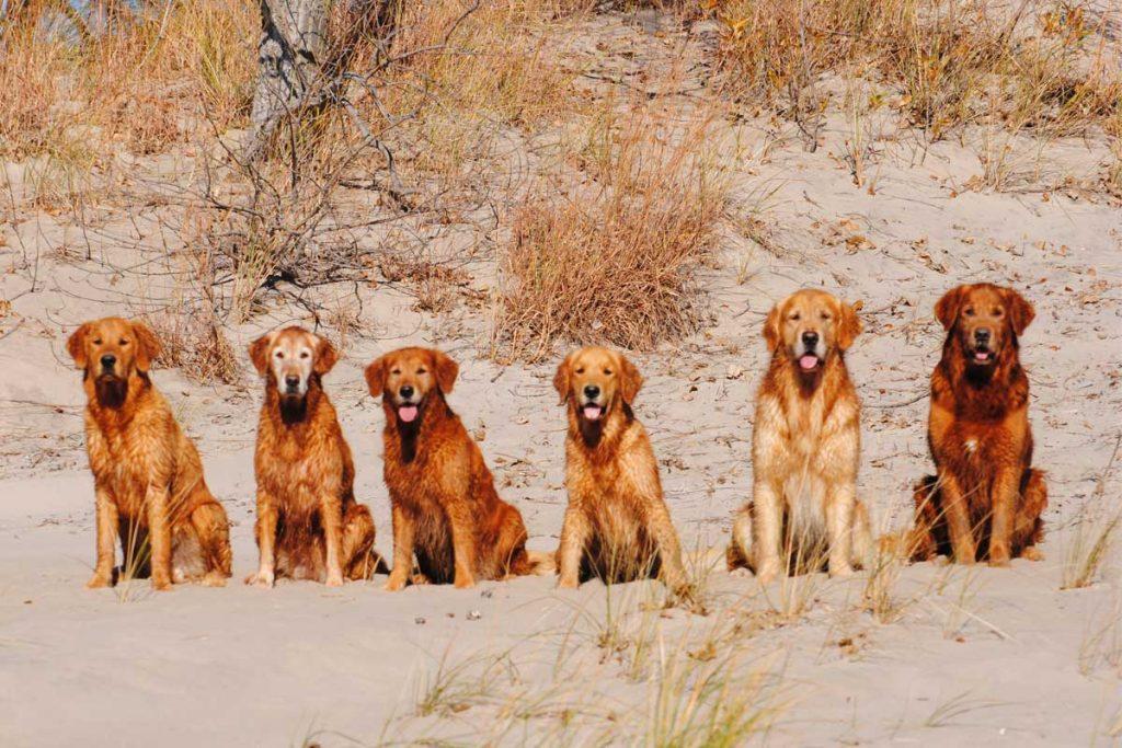 All our Breeding Golden Retrievers