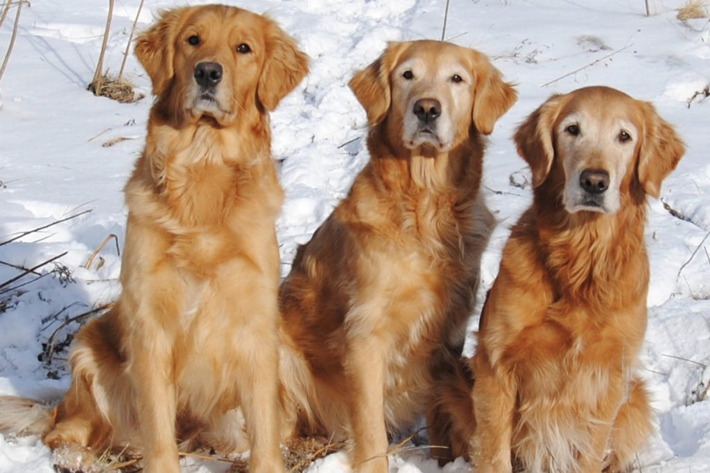 3 female Golden Retrievers in snow