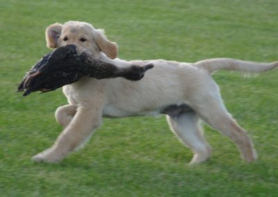 Flight Puppy Duck