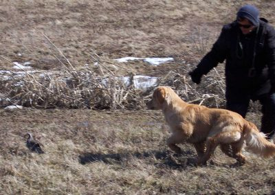 Gail and Crash (16 weeks old) training on live upland birds
