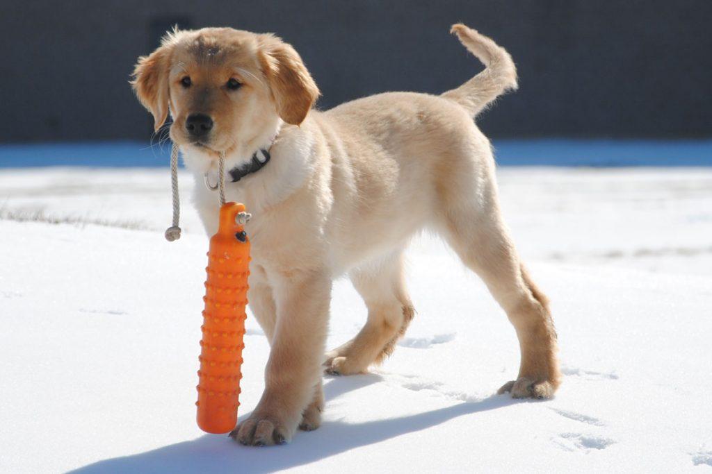 Golden Retriever Puppy in Training