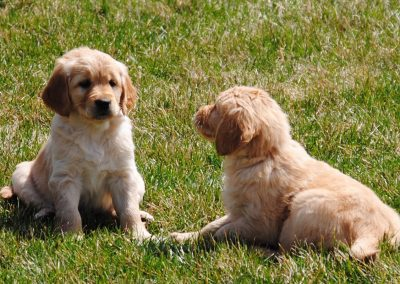 Two puppies on grass 2015